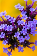 Flowers, purple inflorescence, yellow background