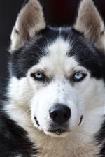 Cão ronco, olhos azuis, preto branco