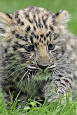 Preview iPhone wallpaper Leopard baby, green grass