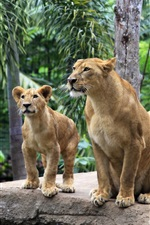 Preview iPhone wallpaper Lion family, lioness, lion cubs