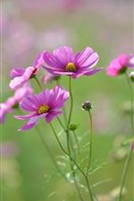 Pink flowers, petals, buds, blur focus