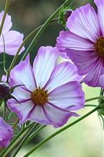 Preview iPhone wallpaper Purple kosmeya flowers