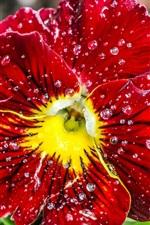 Red flower, petals, water drops