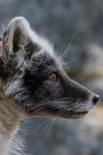 Preview iPhone wallpaper Side view of black Arctic fox