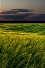 Preview iPhone wallpaper Sunset landscapes, nature, wheat fields, dusk