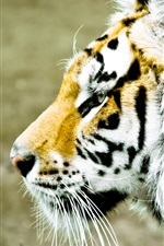 Preview iPhone wallpaper Tiger face side view, blur background