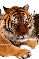 Preview iPhone wallpaper Tiger in the snow
