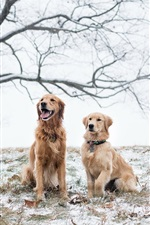 Preview iPhone wallpaper Two brown dogs in the winter