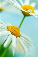 Two white daisies flowers, green blur background