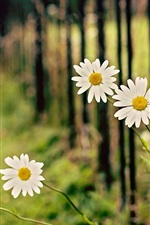 Preview iPhone wallpaper White chamomile flowers, fence, bokeh
