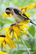 Preview iPhone wallpaper Yellow flowers, rudbeckia, bird, goldfinch