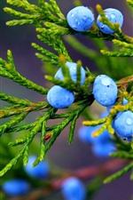 Preview iPhone wallpaper Autumn, nature, juniper, blue berries, water drops