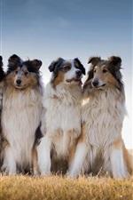 Preview iPhone wallpaper Best friends, Australian shepherd, grass