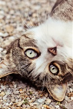 Preview iPhone wallpaper Cat, face, eyes, pebbles