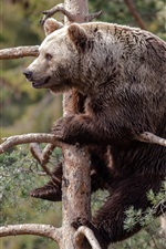 Gray bear, pine tree
