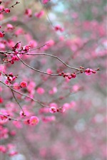 Japan, pink apricot flowers, branches, blossoms