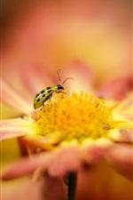 Orange flower, macro, insect, ladybug, blur