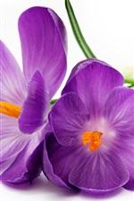Purple crocuses, petals, white background