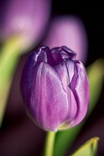 Preview iPhone wallpaper Purple flowers, tulips, spring