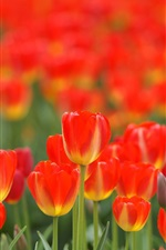 Preview iPhone wallpaper Red flowers, tulips, spring