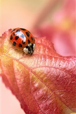 Preview iPhone wallpaper Red leaf, insect ladybug