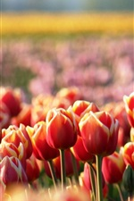 Preview iPhone wallpaper Red tulips, flowers, spring, blur