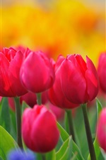 Red tulips, yellow flowers, hyacinths, spring nature