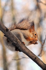 Preview iPhone wallpaper Squirrel, nuts, branches, trees
