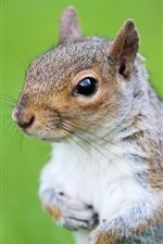Preview iPhone wallpaper Squirrel, rodent, eyes, green grass