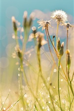 Preview iPhone wallpaper Summer, field, grass, dandelions, drops, dew, highlights, morning