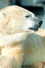 Preview iPhone wallpaper White polar bear side view