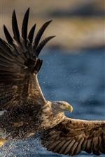 Preview iPhone wallpaper White-tailed eagle, predator, wings, flying, water