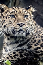 Preview iPhone wallpaper Animal leopard, predator