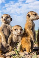 Preview iPhone wallpaper Animals close-up, meerkats