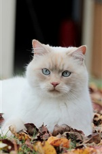 Preview iPhone wallpaper Autumn leaves, white cat