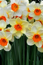 Preview iPhone wallpaper Beautiful flowers, many daffodils