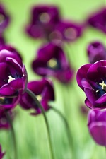 Preview iPhone wallpaper Beautiful purple tulip flowers, green background
