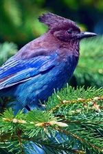 Preview iPhone wallpaper Blue feathers bird, spruce, branches, forest