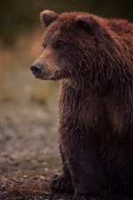 Preview iPhone wallpaper Brown bear, wet, sit