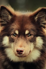 Preview iPhone wallpaper Brown dog look at you, bokeh