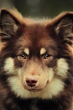 Preview iPhone wallpaper Brown dog look at you, bokeh