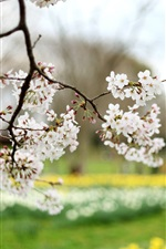Preview iPhone wallpaper Cherry flowers, white petals, blur, spring nature