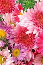 Colorful flowers, chrysanthemum, pink