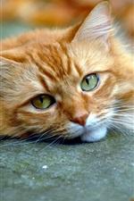 Cute cat, face, eyes, fall