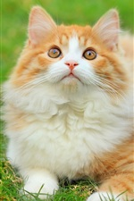 Preview iPhone wallpaper Cute fluffy cat in the grass