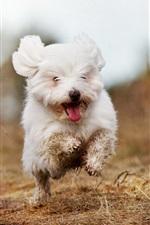 Preview iPhone wallpaper Cute white dog running