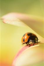 Flower macro, dahlia, ladybug, blur background