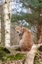Preview iPhone wallpaper Forest animals, lynx, wood, stones
