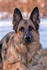 Preview iPhone wallpaper German Shepherd dog, front view