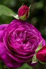 Preview iPhone wallpaper Heidi Klum Rose, purple rose flowers